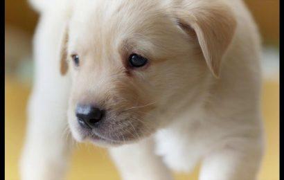 VIDEO: देखें क्या हुआ जब एक कुत्ते का बच्चा निकालने लगा मुर्गे की आवाज