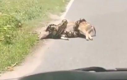 हिरण से लिपट गया अजगर फिर इंसान ने जो किया…… देखें वीडियो