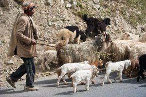 चरवाहे को हुआ कोरोना तो 47 बकरियों को कर दिया क्वारंटीन